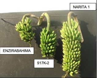 Preliminary results of NARITA hybrids trials show high yield potential to increase banana